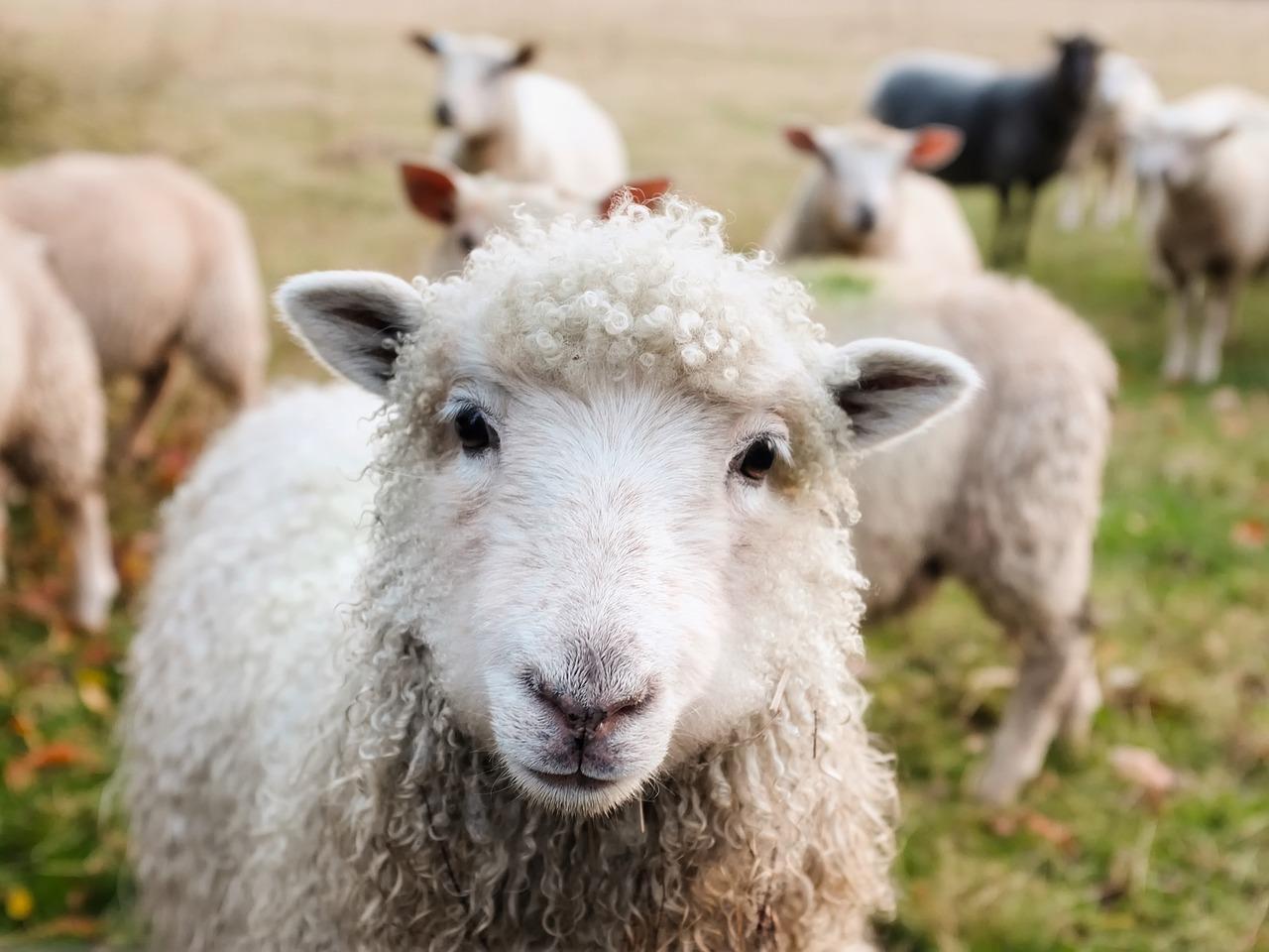 Image result for תמונות של כבשים במדבר